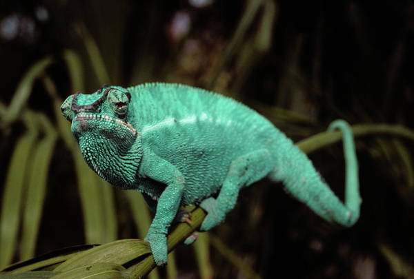 Adapted Photograph - Male Panther Chameleon Chameleo Sp by Vintage Images