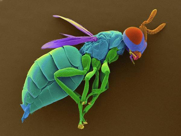 Biological Pest Control Photograph - Male Parasitic Wasp by Dennis Kunkel Microscopy/science Photo Library