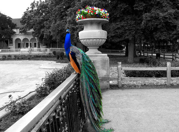 Wall Art - Photograph - Male Peacock Bird Selective Coloring by Thomas Woolworth