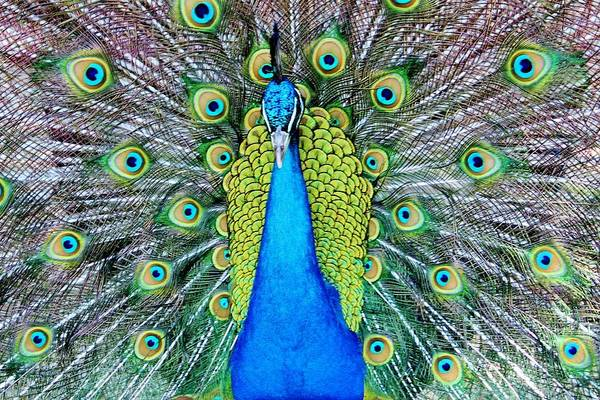 Photograph - Male Peacock by Cynthia Guinn