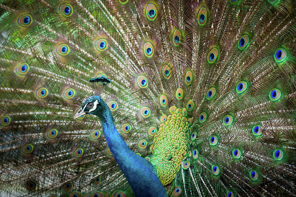 Courtship Display Photograph - Male Peacock Displaying by Pan Xunbin