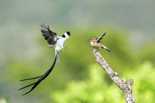 Animal Behaviour Photograph - Male Pin-tailed Whydah In Mating Display by Tony Camacho