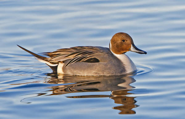 Photograph - Male Pintail Duck by Susan Candelario