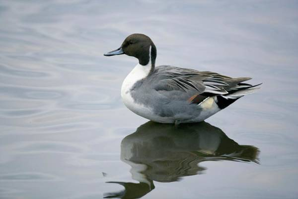 Wall Art - Photograph - Male Pintail by Simon Booth/science Photo Library