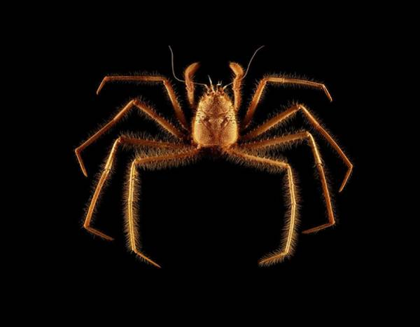 Chela Wall Art - Photograph - Male Poupinia Hirsuta Crab by Science Photo Library