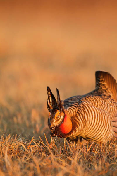 Mating Ritual Photograph - Male Prairie Chickens At Lek In Loup by Chuck Haney