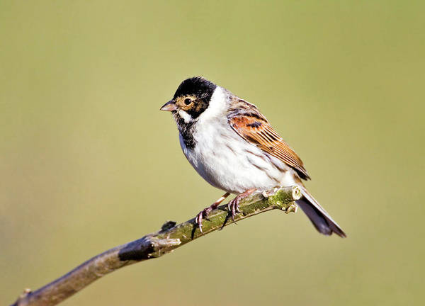 Bunting Photograph - Male Reed Bunting by John Devries/science Photo Library