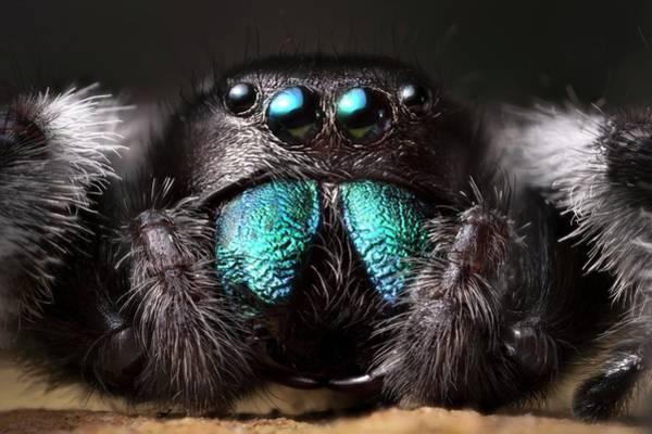 Male Regal Jumping Spider Art Print