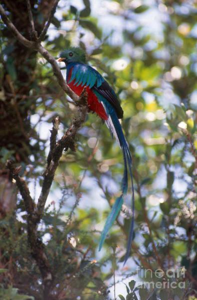 Quetzals Photograph - Male Resplendent Quetzal by Gregory G Dimijian