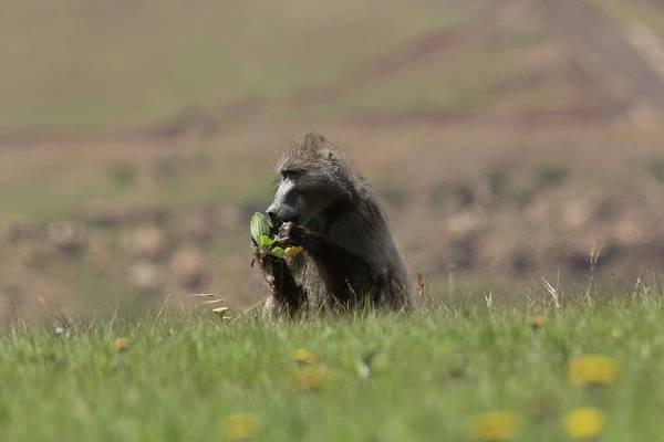 Monkey Flower Wall Art - Photograph - Male Savannah Baboon Eating A Flower by Bob Gibbons