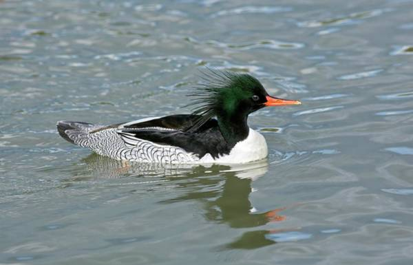 Anatidae Wall Art - Photograph - Male Scaly-sided Merganser by John Devries/science Photo Library