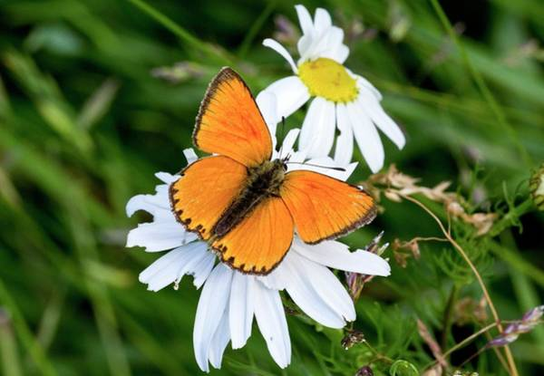 Copper Mountain Photograph - Male Scarce Copper Butterfly by Bob Gibbons