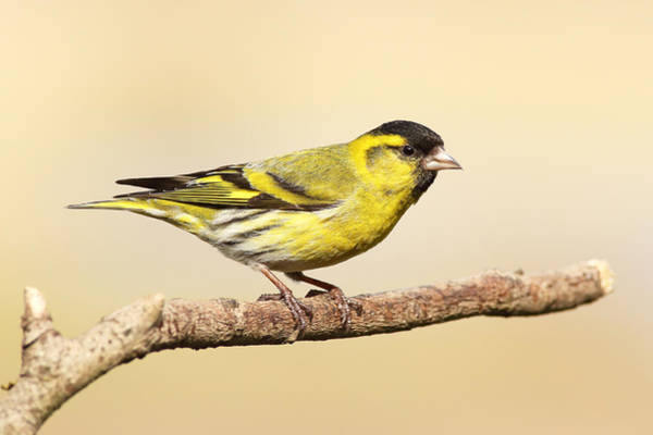 Photograph - Male Siskin by Grant Glendinning