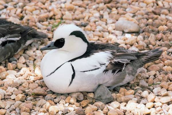 Wall Art - Photograph - Male Smew by Brian Gadsby/science Photo Library