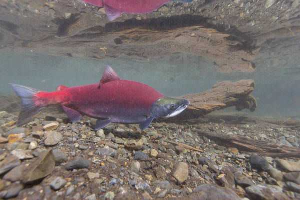 Wall Art - Photograph - Male Sockeye Salmon by Tim Grams