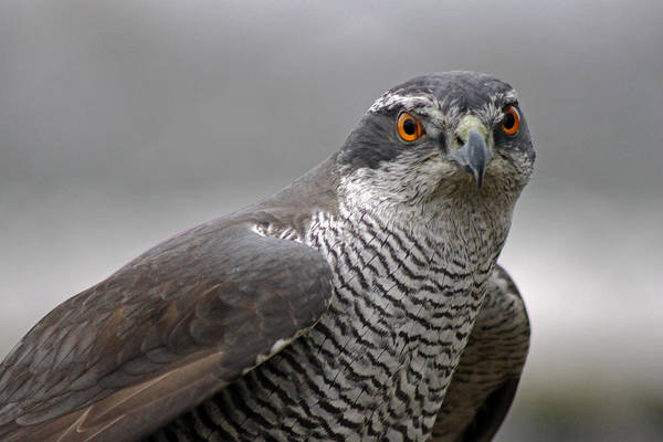 Photograph - Male Sparrowhawk. by Tony Murtagh