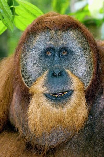 Orangutan Photograph - Male Sumatran Orangutan by Tony Camacho/science Photo Library