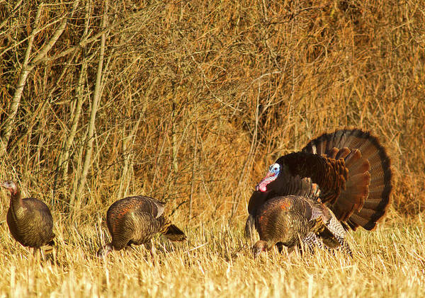 Plumage Wall Art - Photograph - Male Tom Turkey With Hens by Chuck Haney
