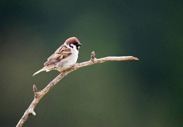 Wall Art - Photograph - Male Tree Sparrow by John Devries/science Photo Library