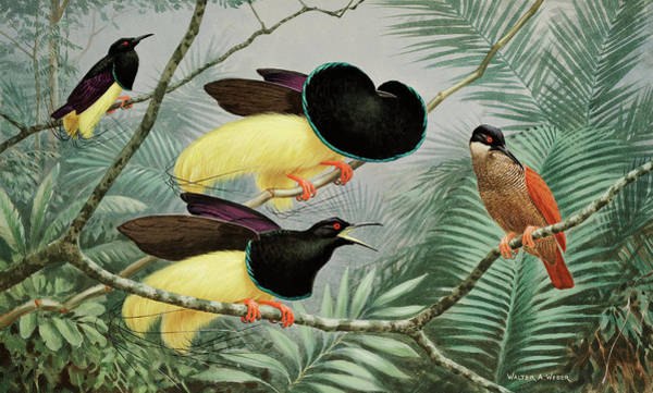 Wall Art - Photograph - Male Twelve-wired Birds Of Paradise by Walter A. Weber