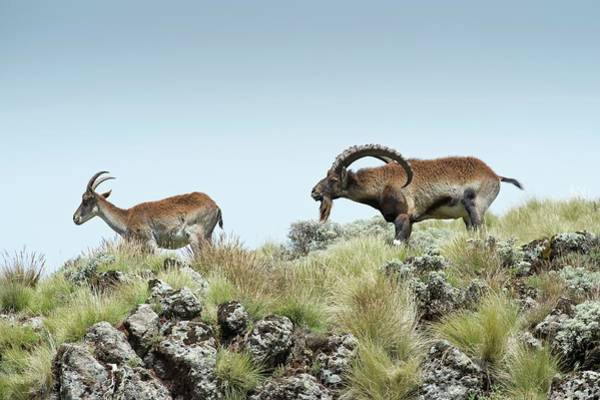 Critically Endangered Wall Art - Photograph - Male Wahlia Ibex Checking A Females Odour by Tony Camacho