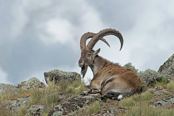 Ibex Wall Art - Photograph - Male Wahlia Ibex In The Simien Mountains by Tony Camacho