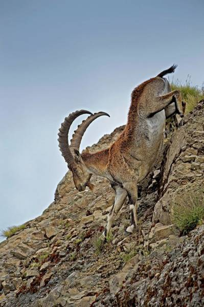 Critically Endangered Photograph - Male Wahlia Ibex Mountain Descent by Tony Camacho