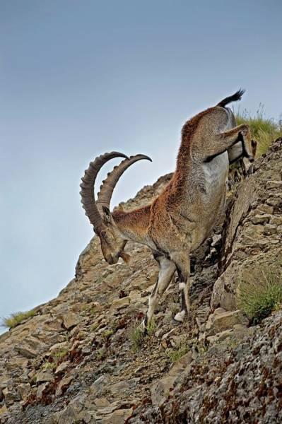 Ibex Wall Art - Photograph - Male Wahlia Ibex Mountain Descent by Tony Camacho