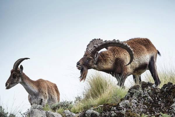 Ibex Wall Art - Photograph - Male Walia Ibex Checking A Females Odour by Peter J. Raymond