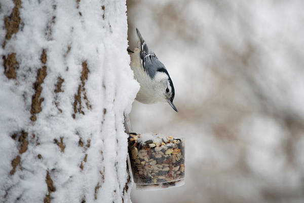 White-breasted Nuthatch Photograph - Male White-breasted Nuthatch by Frank Cezus
