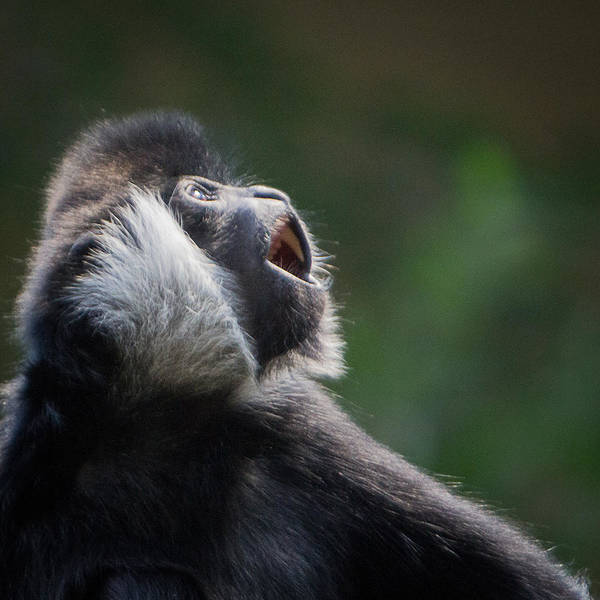 Photograph - Male White-cheeked Gibbon by Patti Deters
