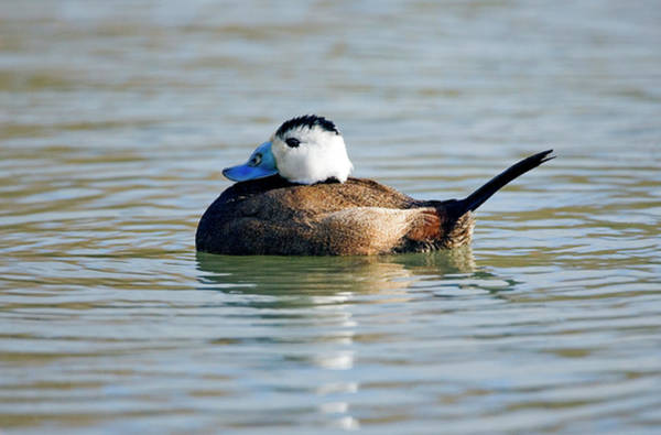 Wall Art - Photograph - Male White-headed Duck by John Devries/science Photo Library