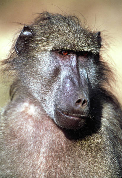 Baboons Photograph - Male Yellow Baboon by Tony Camacho/science Photo Library
