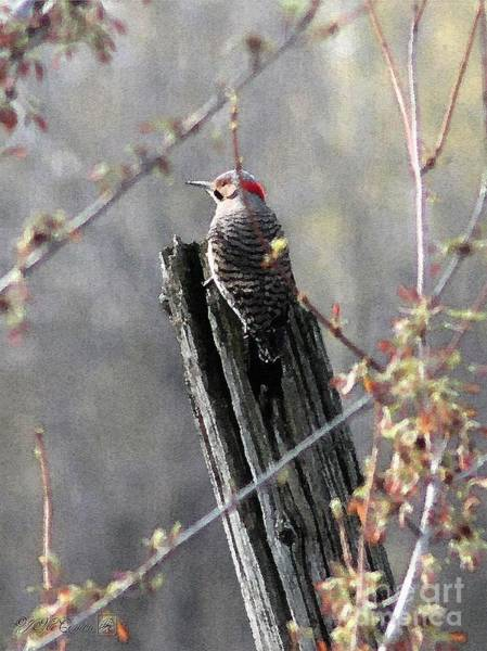 Northern Flicker Painting - Male Yellow-shafted Northern Flicker by J McCombie