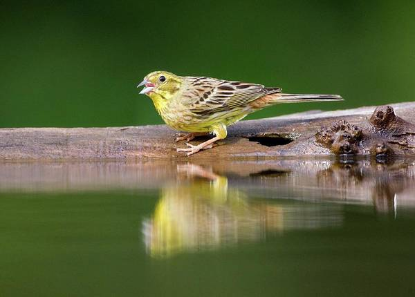 Wall Art - Photograph - Male Yellowhammer by John Devries/science Photo Library