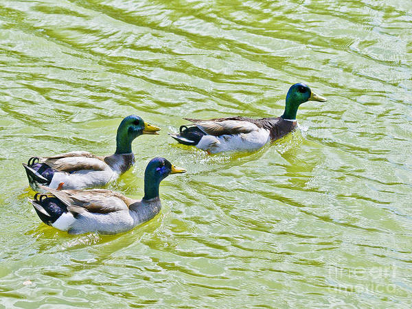 Photograph - Mallard Buddies by Bob and Nadine Johnston