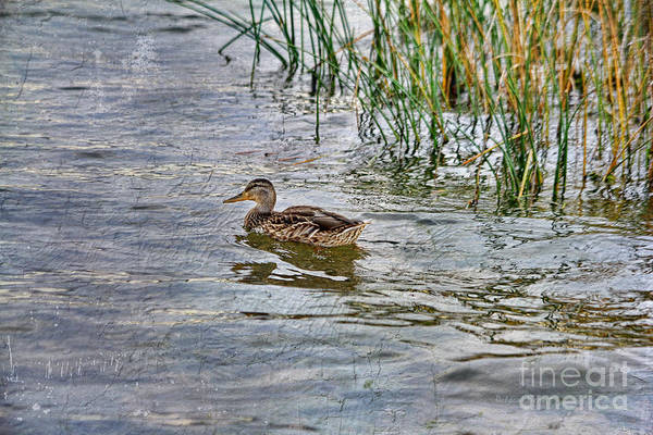Photograph - Mallard By The Reeds by Deborah Benoit