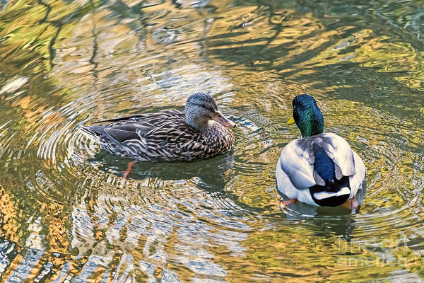 Photograph - Mallard Couple by Kate Brown