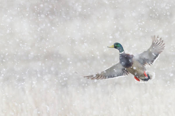 Wall Art - Photograph - Mallard Drake Flying In Heavy Snow by Ken Archer