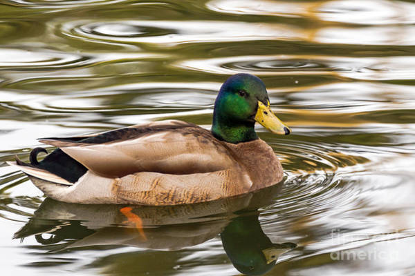 Photograph - Mallard Drake II by Kate Brown