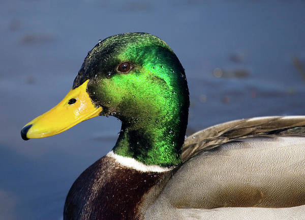 Anas Platyrhynchos Photograph - Mallard Drake by John Devries/science Photo Library