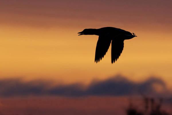 Anas Platyrhynchos Photograph - Mallard Drake Silhouette by Ken Archer