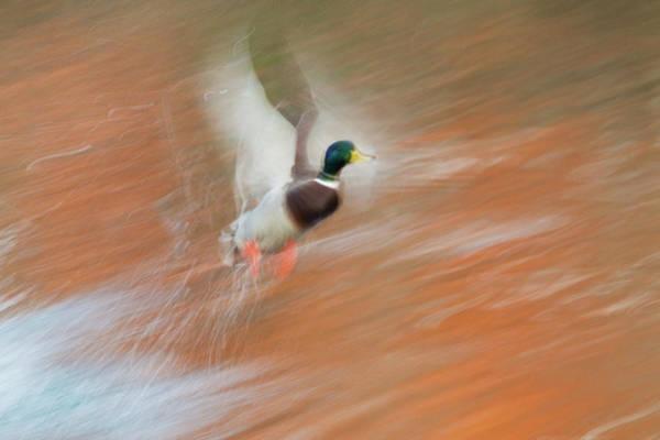 Wall Art - Photograph - Mallard Drake, Taking Flight In Slow by Ken Archer