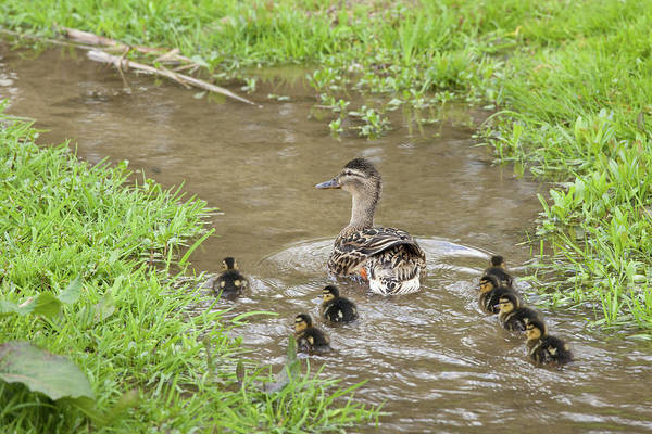 Duckling Photograph - Mallard Duck & Ducklings In The by Tim Graham