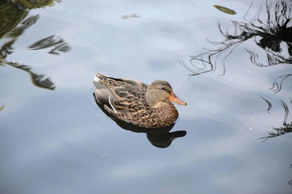 Photograph - Mallard Duck Smile by Roxy Hurtubise