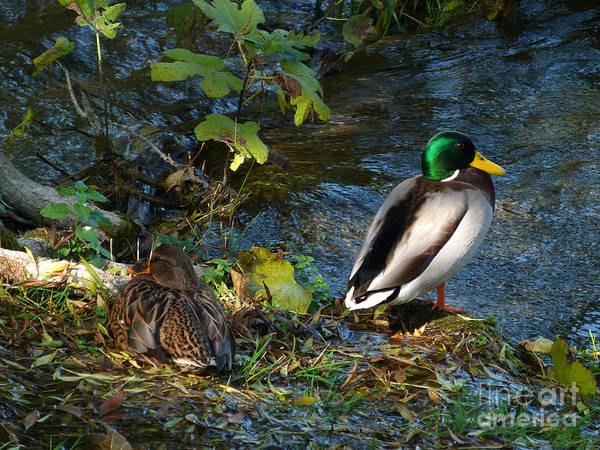 Photograph - Mallard Duck And Drake by Phil Banks