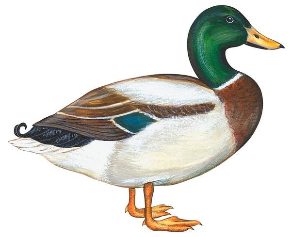 Audubon Painting - Mallard Duck by Anonymous