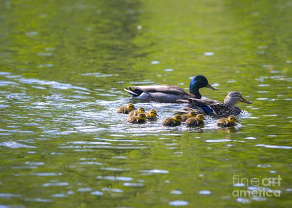 Duckling Photograph - Mallard Duck Family by Diane Diederich