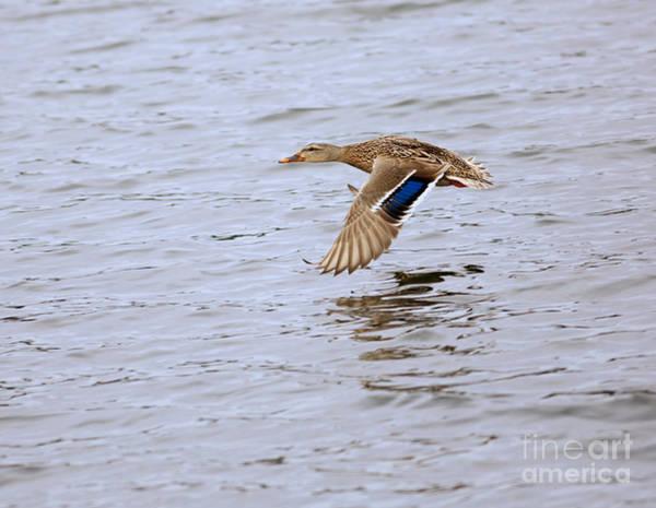 Wall Art - Photograph - Mallard Duck Female In Flight by Louise Heusinkveld
