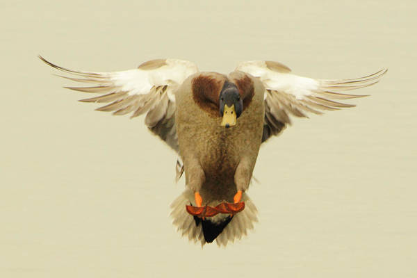 Photograph - Mallard Duck Landing by Pete Federico